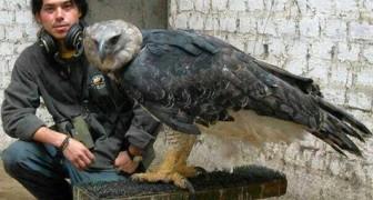 De haprij-arend is één van de grootste en krachtigste vogels ter wereld: ontdek zijn indrukwekkende jachtwerktuigen
