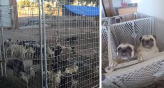 Oltre 100 carlini vengono finalmente salvati da un allevamento illegale