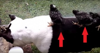 Un pit bull viene assalito da una banda di pulcini: la sua reazione è da non perdere