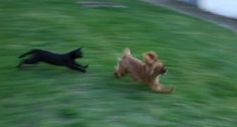 Chiens contre chats