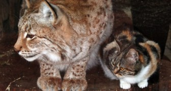Een kat sluipt een dierentuin binnen om een vriend te begroeten... en wordt daarbij gadegeslagen door de verbijsterde bezoekers!