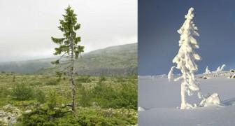 Scoperto in Svezia l'albero più anziano VIVENTE sulla terra: è nato 9.550 anni fa