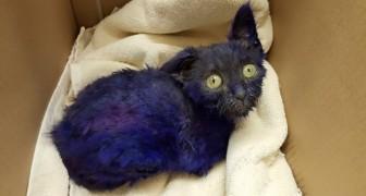 Un chaton bleu a été trouvé dans une boîte: ce que les vétérinaires découvrent est terrifiant
