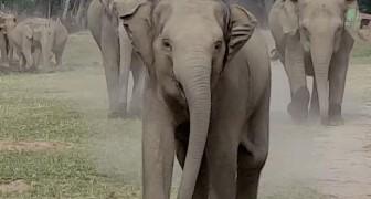Degli elefanti vedono l'uomo che si prende cura di loro: la loro reazione è indescrivibile