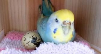 Dit is wat er gebeurt als je je papegaai een kwartelei uit de supermarkt geeft