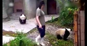 Ein kleiner Panda sieht, dass seine Freundin geht. Was er macht, ist witzig