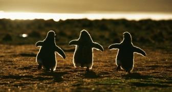 20 splendide foto rivelano momenti nascosti della vita quotidiana dei pinguini