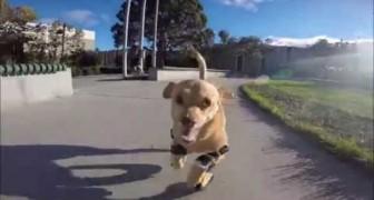 I veterinari le davano poche speranze di camminare, ma il suo coraggio è stato più forte!
