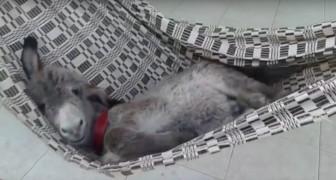 Un asino si dondola su un'amaca... La sua espressione soddisfatta non ha prezzo!