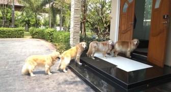 4 perros esperan pacientemente en fila frente a la puerta: el motivo es sorprendente