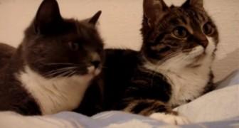 Filma i suoi due gatti mentre 'discutono' tra loro... Ecco la loro conversazione