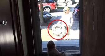 La mamma torna a casa con la nuova arrivata... Il benvenuto del cane è adorabile