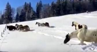 Luego de haber liberado los caballos en la nieve, asisten a un espectaculo bellisimo