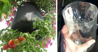 Comment faire pousser des tomates dans des bouteilles en plastique à l'envers... Parfaits pour un balcon !