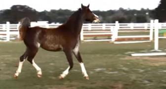 Este caballo sueña de convertirse en una bailarina. Sus movimientos son encantadores!