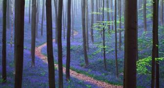 Ogni anno a primavera, questa foresta belga regala uno spettacolo che toglie il fiato