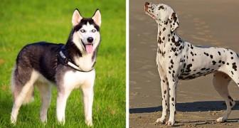 15 razze di cane che un padrone inesperto o sedentario dovrebbe evitare di adottare