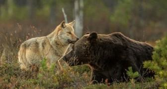 Pendant 10 jours, un photographe a suivi une louve et un ours: il ne pouvait pas en croire ses yeux