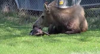 Filman un alce que esta dando a luz dos gemelos: el espectaculo del nacimiento es emocionante