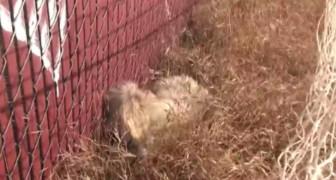 Terrorisé, il plonge sa tête dans l'herbe. Mais regardez ce qu'il se passe peu après...
