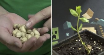 How to grow you own pistachio tree!