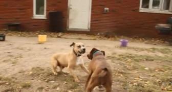 Dos ex perros de combate se encuentran por primera vez: los dejaran sin palabras