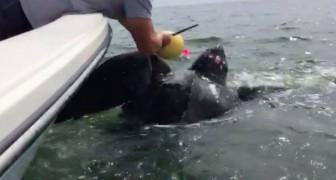 Una tortuga gigante esta apretada en una soga mortal, pero dos hombres se ponen en accion