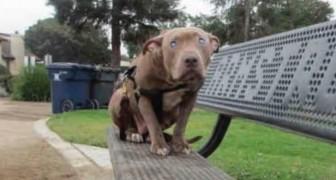 Un pit-bull aveugle est abandonnée sur un banc: mais quelqu'un va la remarquer