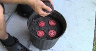 Taglia a fette un pomodoro e lo interra: ecco cosa avviene dopo 10 giorni
