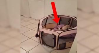 Non riescono a spiegarsi come faccia il cane ad uscire dal box: mistero risolto!