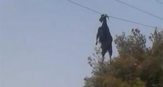Estos hombres notan a una cabra COLGANDO de un cable: mira como entran en accion