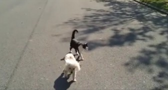 Un caniche aveugle marche dans la rue, mais faites attention au chat...