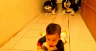 Il bambino sta imparando a gattonare, ma tenete gli occhi sui due husky dietro di lui