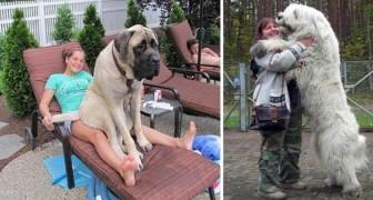 Le adorabili immagini di alcuni cani giganteschi... che non sanno di esserlo