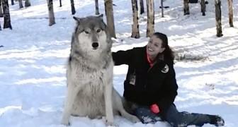 Un lupo gigante si siede al suo fianco: guardate cosa accade appena lei lo accarezza...