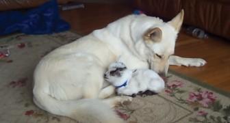 Questa capretta ha un disperato bisogno di una madre. Come reagisce il cane? Da vedere!