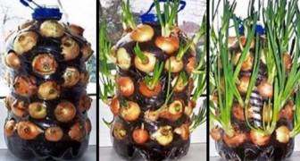 Cultivar cebolas todo o ano em um apartamento? É possível e a gente te mostra como!