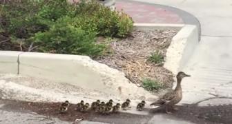 Die Ente durchquert die Stadt mit ihren 12 Entlein. Sie wird von einem Sondereinsatzkommando begleitet...