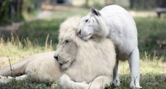 Ein Tiger und ein Löwe - beide Albinos- kreuzen sich. Das Ergebnis? Vier einzigartige Junge