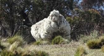 Una pecora fugge dal gregge: la trovano dopo ben 5 anni... con 40 chili di lana addosso!