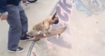 Die Bulldogge steigt aufs Skateboard: ihr werdet euren Augen nicht trauen was er macht