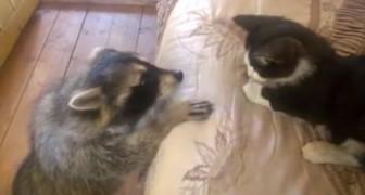 L'orsetto lavatore cerca di abbracciare il gattino ad ogni costo... I suoi tentativi sono esilaranti!