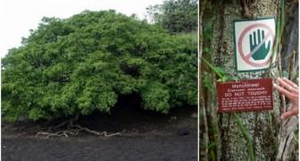 Ze noemen hem de boom van de dood: zie hier de meest gevaarlijke plant in de wereld