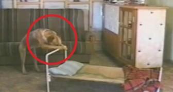 Het slaapritueeltje van deze hond is te gek!