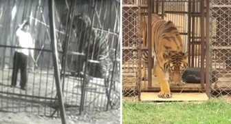 Luego de años transcurridos en jaula, una tigre toca el pasto por primera vez: la reaccion es dulcisima