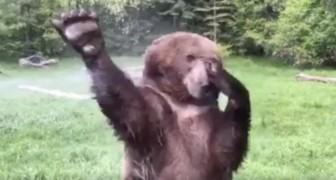 Ein Bär trifft auf einen Wassersprinkler. Was dann passiert, ist ein echtes Spektakel