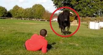 Un ancien taureau de corrida court vers lui: les minutes qui suivent sont d'une beauté étonnante