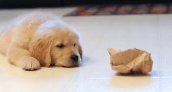 Een puppy vecht tegen een papieren zak: de reactie van haar broer is prachtig