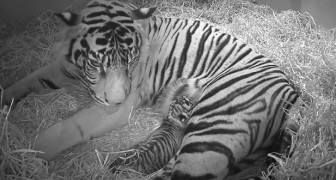 Um raro tigre sumatriano dá a luz... para a surpresa de todos, são gêmeos!