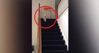 A puppy goes down the stairs --- So funny the way it does it!